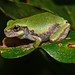 Butterbean Sized~ Young Gray Tree Frog (Hyla versicolor)? by Brody J