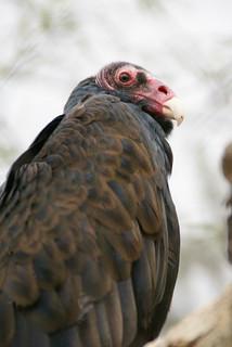 vulturephoe