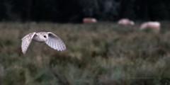 Barn Owl at dusk......