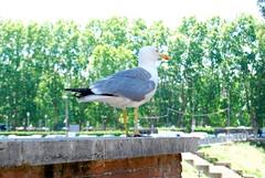 A Roman Seagull