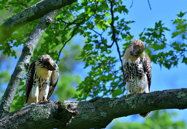 DSC_7972_----------Two Juveniles, Red Tails Hawks Admiring One Another.