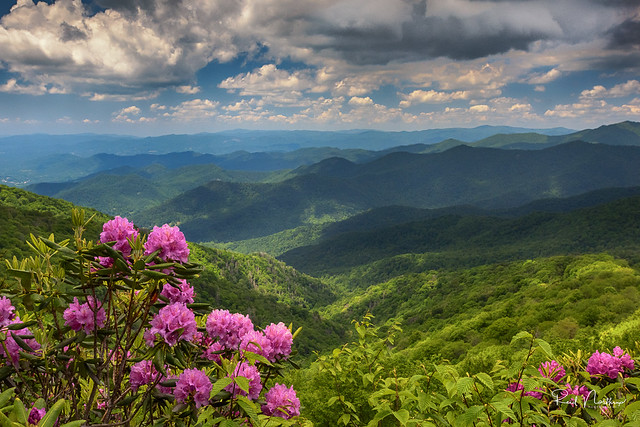 The hills are alive with rhododendrons at Craggy Gardens !!!