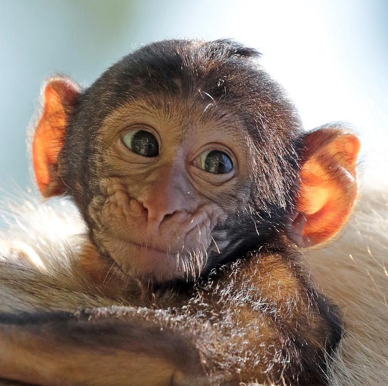 Barbary macaque apenheul BB2A7473