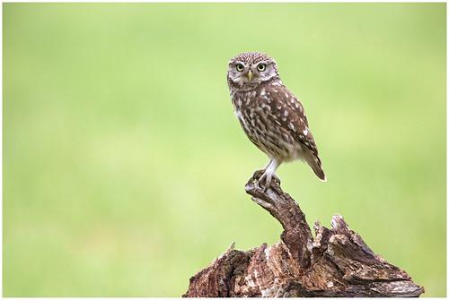 Little owl - Steenuil (Athene noctua)