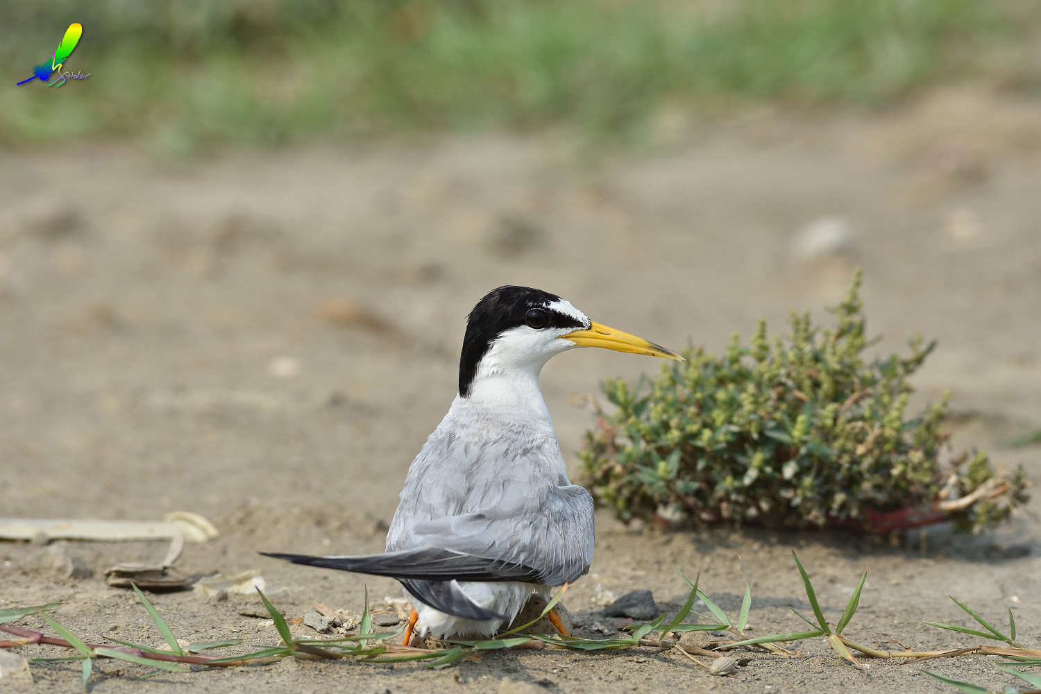 Little_Tern_8930