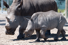 Little Rhino Standing by Mom