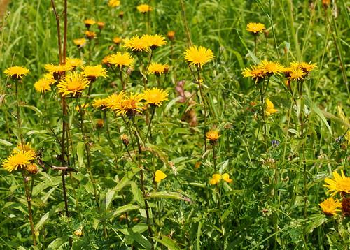 nyár summer rét meadow növény plant virág flower sárga yellow fűzlevelűperemizs willowleafyellowhead irishfleabane inuleàfeuillesdesaule weidenblättrigealant weidenalant enulaaspra cioroi inulasalicina őszirózsafélék fészkesek asteraceae olympusem5