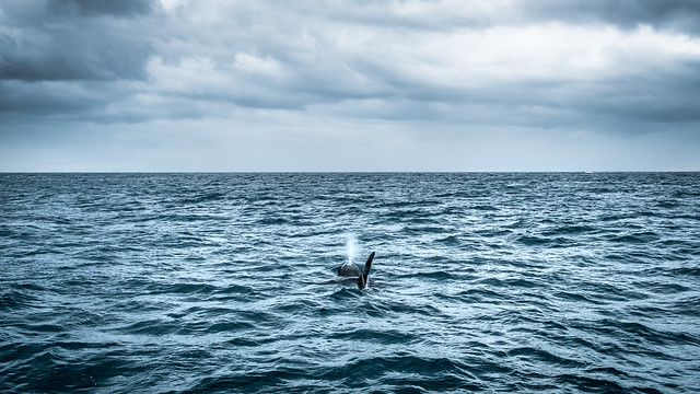 The killer whale - Iceland - Travel photography