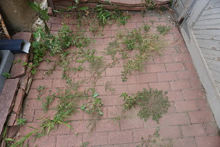 Weeds in the bricks