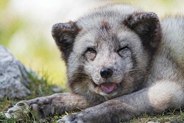The arctic fox seems to smile...