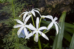 String Lily Crinum sp.