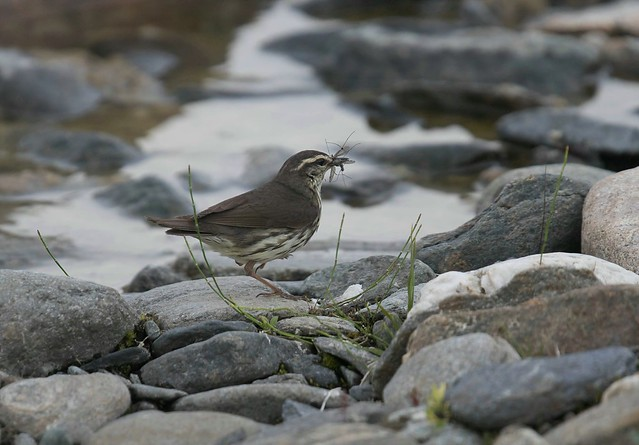 Northern Waterthrush 2, Canon EOS 7D MARK II, Canon EF 400mm f/4 DO IS