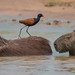 Wattled Jacana and Capybaras (Tim Melling)