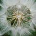 Seedhead center of Tragopogon porrifolius - Asteraceae by Monceau