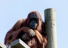 Orangutan Monkey World 8th April 2017 #7