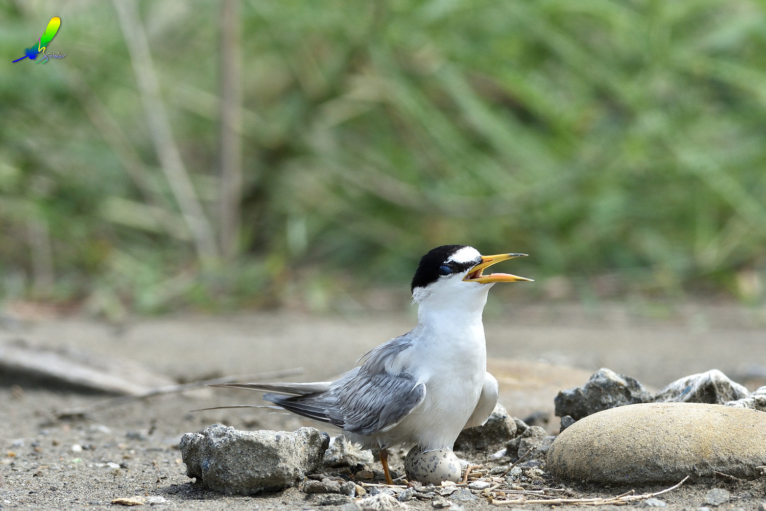Little_Tern_6507