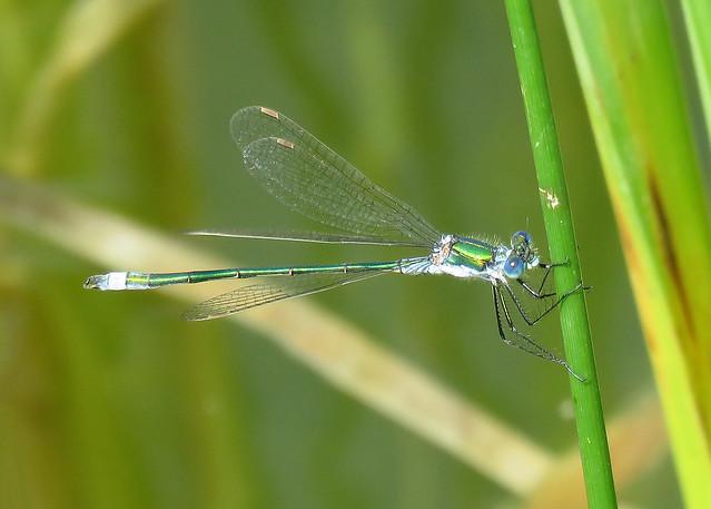 Emerald Damselfy - Lestes sponsa