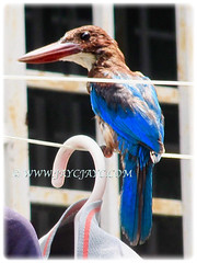 Captivating Halcyon smyrnensis (White-throated Kingfisher) with bright blue back, wings and tail, 1 July 2016