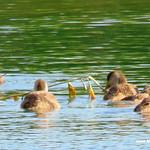 Aves en las lagunas de La Guardia (Toledo) 1-7-2017