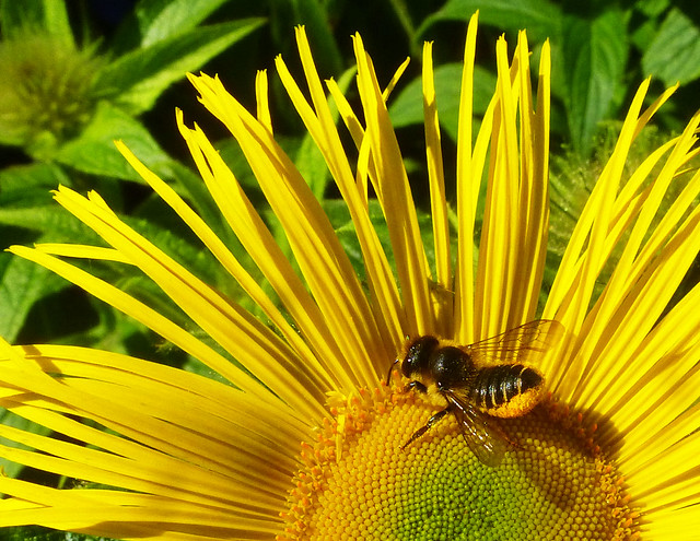Leafcutter bee on Inula, Panasonic DMC-TZ25