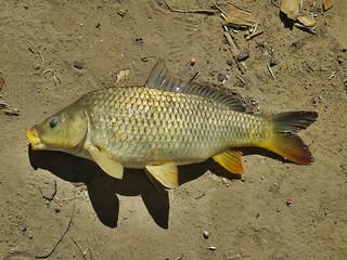 orange toadfish