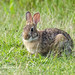 061917 Young Rabbit