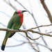 Red-bearded Bee-eater (Andy Hawkins)