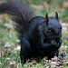 Small photo of Black Squirrel