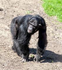 Chimpanzee Monkey World 8th April 2017 #9