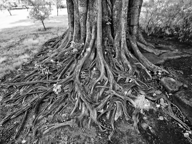 Banyan-Feige Ficus benghalensis