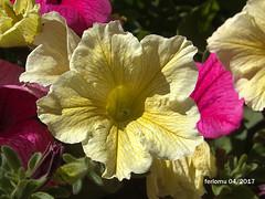 Alpujarras05 Petunia