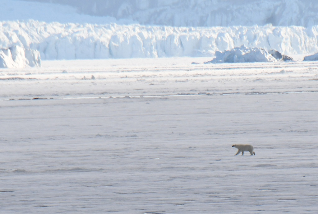 A polar bear on vast sea ice of Svalbard