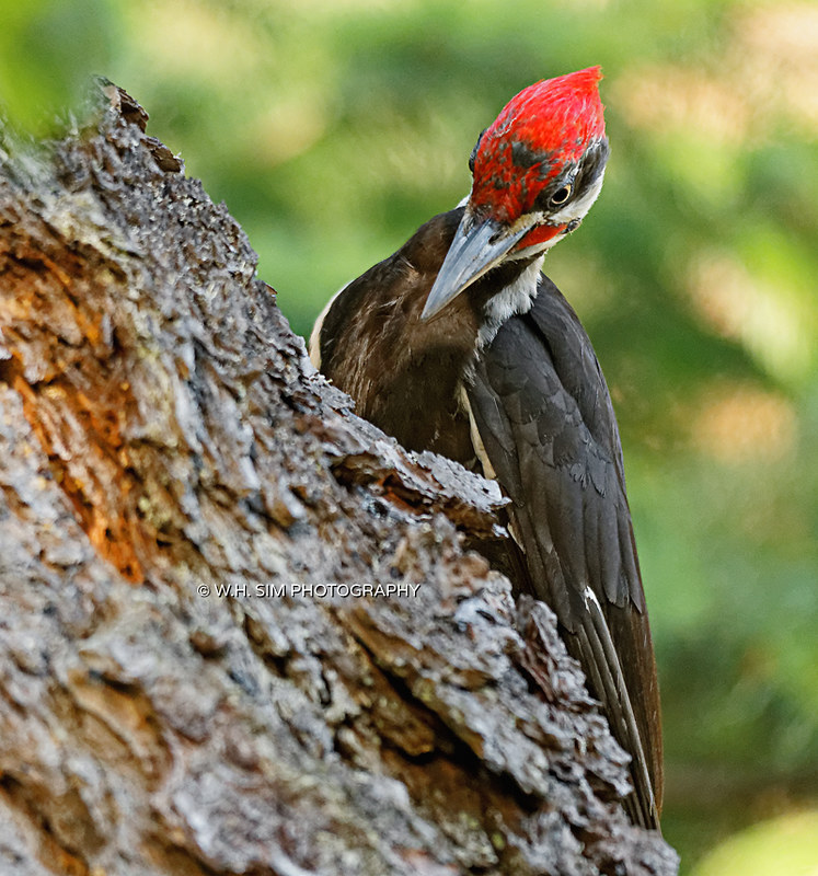 An Industrious Male Pileated Woodpecker