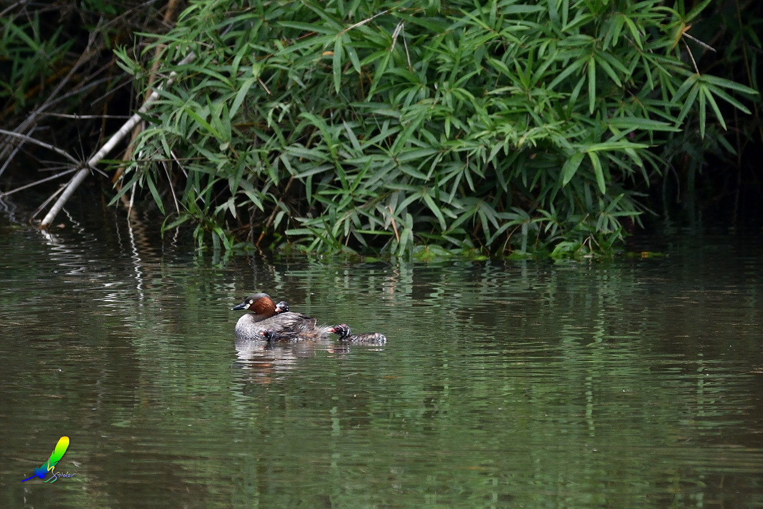 Little_Grebe_5693