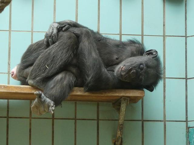 Schimpanse, Zoo Landau