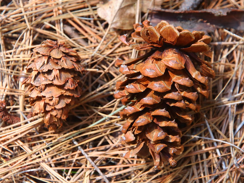 IMG_0556 Seed Cones of Douglas-Fir and Ponderosa Pine