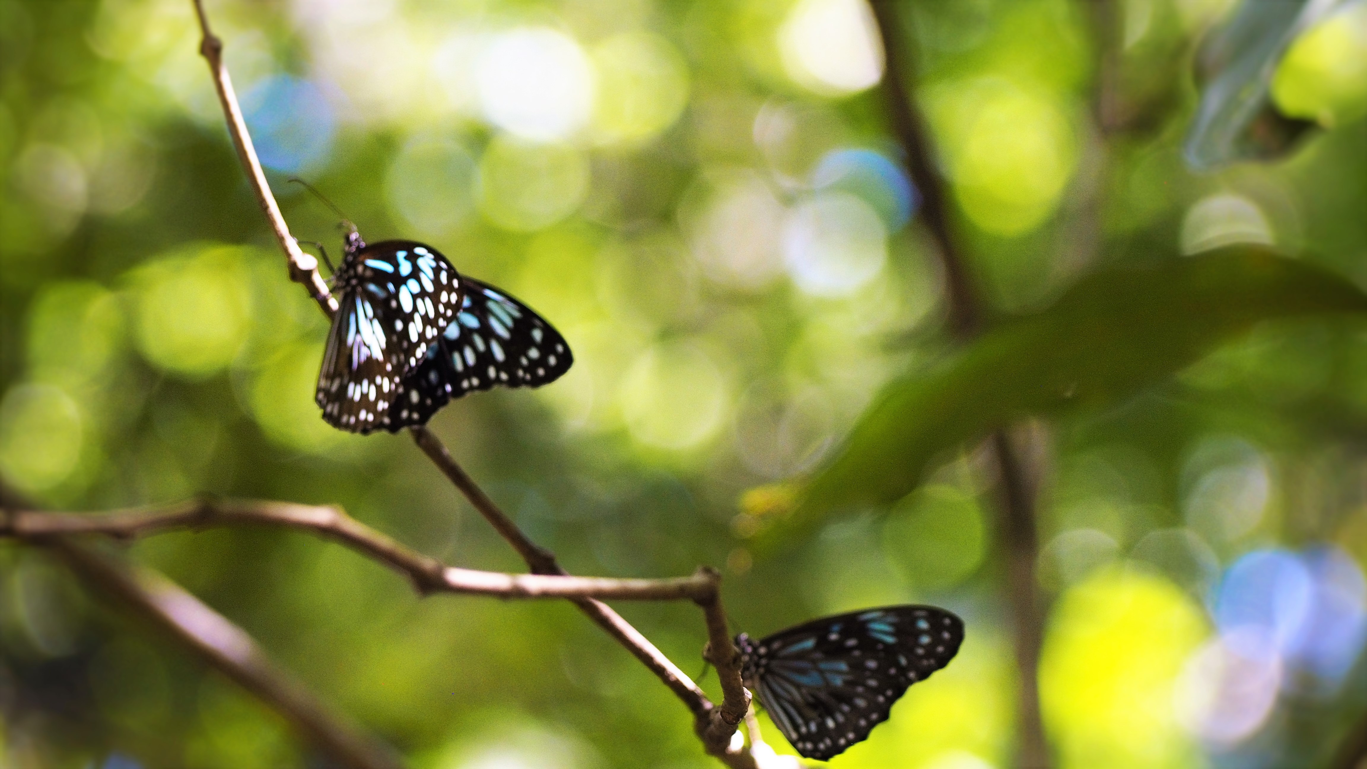 Blue_Tiger_Butterfly_Magnetic_Island_2