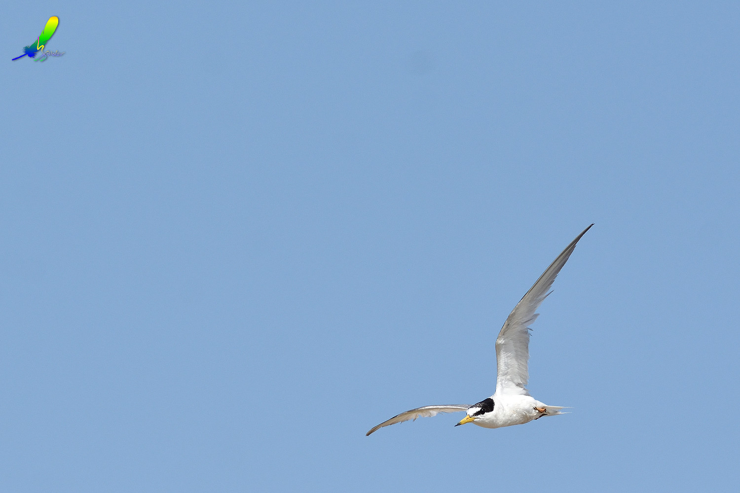 Little_Tern_9505