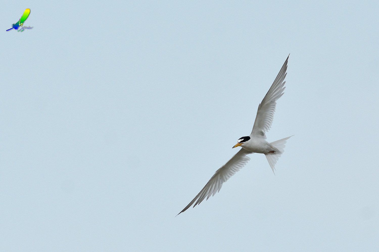 Little_Tern_9335