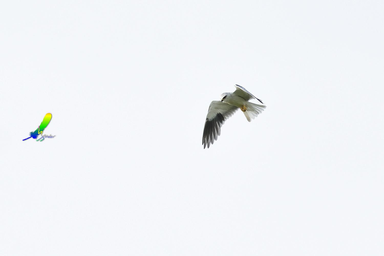 Black-winged_Kite_1744