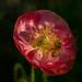 poppy pollinator by auntneecey