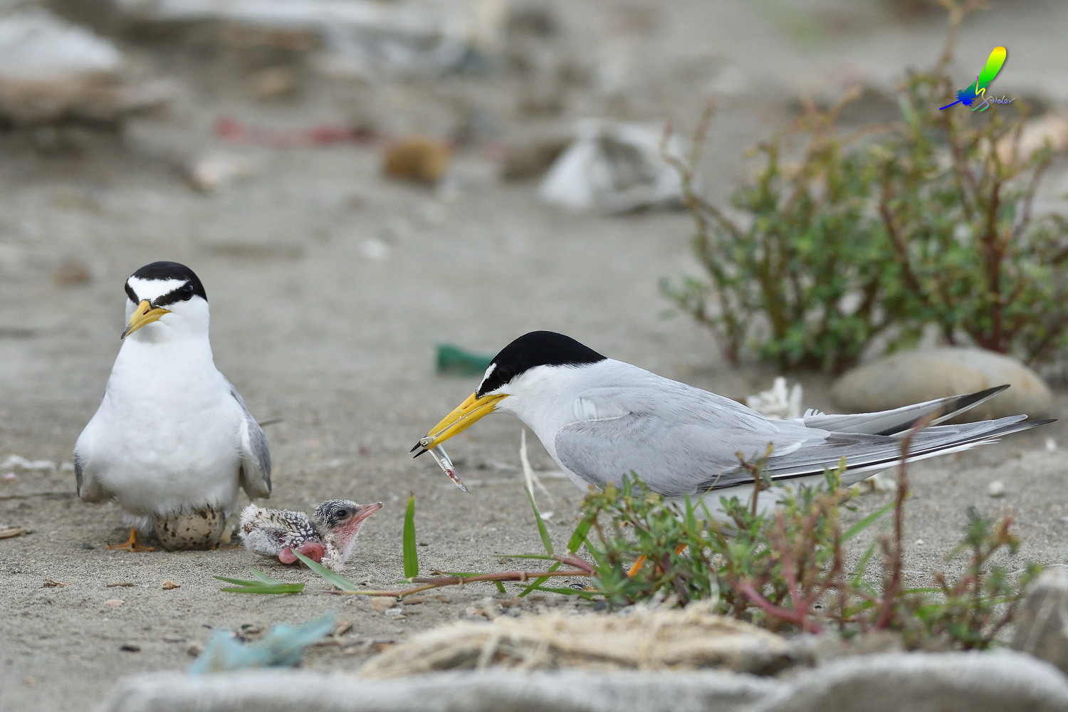 Little_Tern_7874