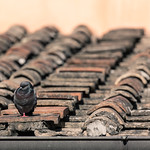 Roof Pigeon