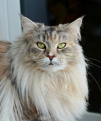 Our MAINE COON CAT -  2016