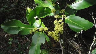 Maytenus distichophylla Mart. ex Reiss.