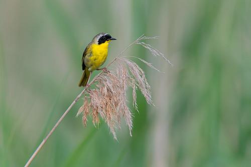 bird geothlypistrichas songbird wildlife pennypackonthedelaware warber nature commonyellowthroat philadelphia pennsylvania unitedstates us phragmite nikon d800e