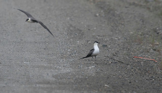 Long-tailed Jaeger 11, Canon EOS 7D MARK II, Canon EF 400mm f/4 DO IS
