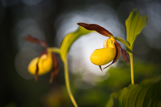 Gelber Frauenschuh Lady's slipper, Canon EOS 5D MARK III, Canon EF 100mm f/2.8L Macro IS USM