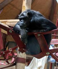 Chimpanzee Monkey World 8th April 2017 #4