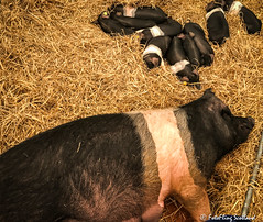 An old sow and piglets